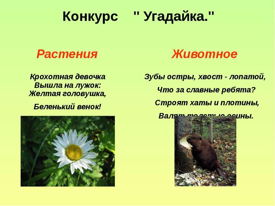 """Конкурс """" Угадайка."""" Растения Животное Крохотная девочка Вышла на лужок: Желт..."""