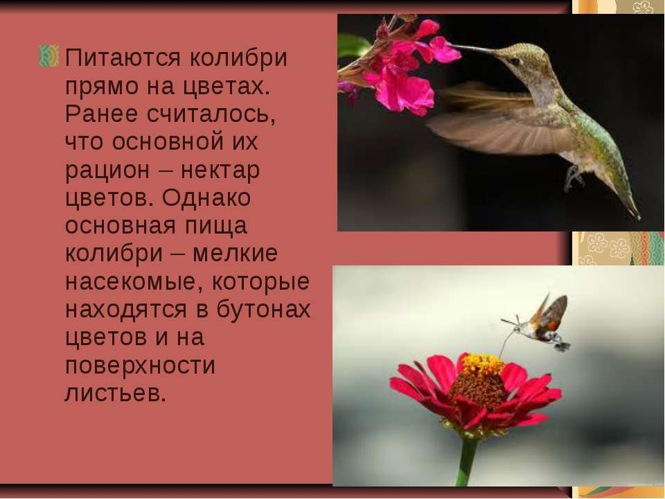 Питаются колибри прямо на цветах. Ранее считалось, что основной их рацион – н...