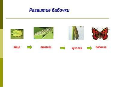 Развитие бабочки яйцо личинка куколка бабочка