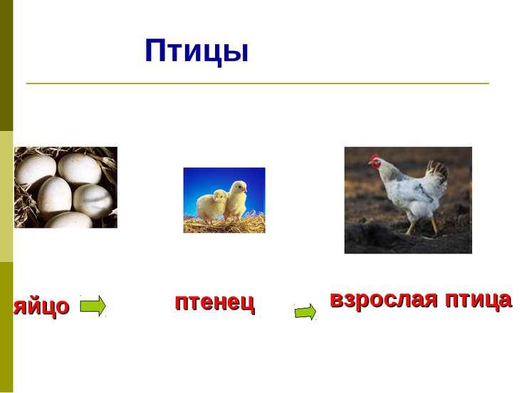 Птицы яйцо птенец взрослая птица