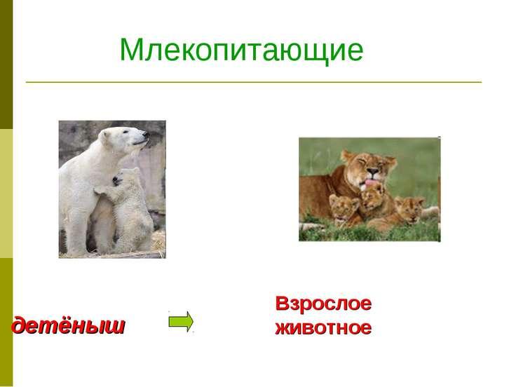 Млекопитающие детёныш Взрослое животное