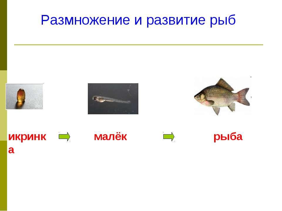 Размножение и развитие рыб икринка малёк рыба