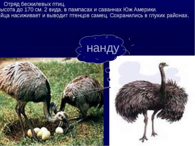 Отряд бескилевых птиц. Высота до 170 см. 2 вида, в пампасах и саваннах Юж Аме...