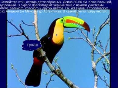 Семейство птиц отряда дятлообразных. Длина 30-60 см. Клюв большой, зазубренны...