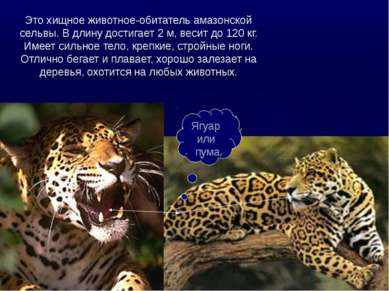 Ягуар или пума Это хищное животное-обитатель амазонской сельвы. В длину дости...