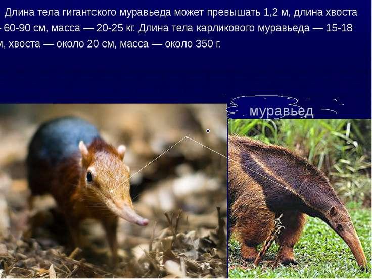 муравьед Длина тела гигантского муравьеда может превышать 1,2 м, длина хвоста...