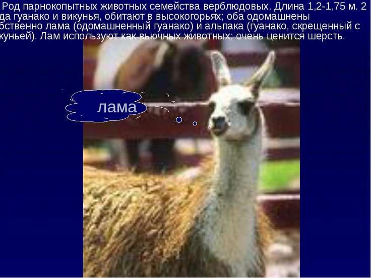 лама Род парнокопытных животных семейства верблюдовых. Длина 1,2-1,75 м. 2 ви...