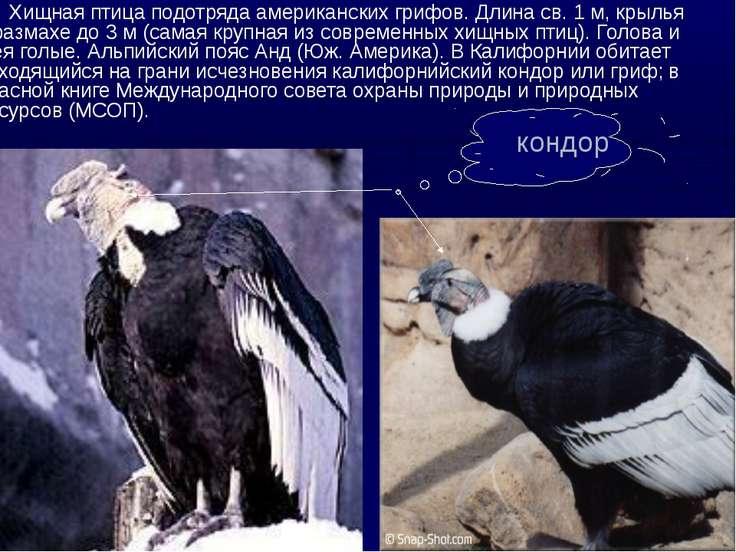 Хищная птица подотряда американских грифов. Длина св. 1 м, крылья в размахе д...