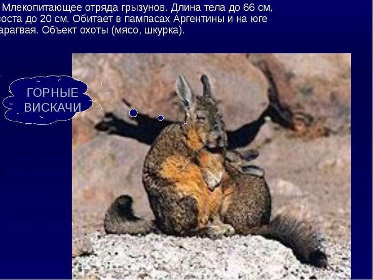 Млекопитающее отряда грызунов. Длина тела до 66 см, хвоста до 20 см. Обитает ...
