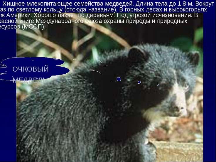 Хищное млекопитающее семейства медведей. Длина тела до 1,8 м. Вокруг глаз по ...