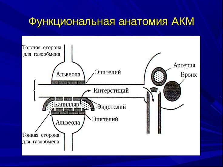 Функциональная анатомия АКМ