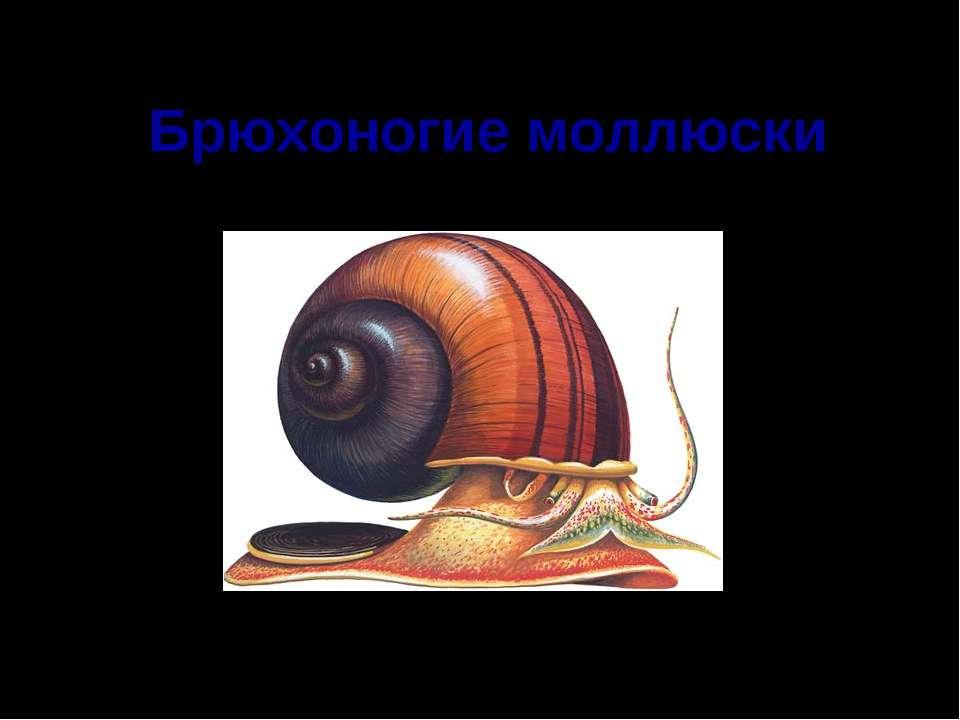 Брюхоногие моллюски