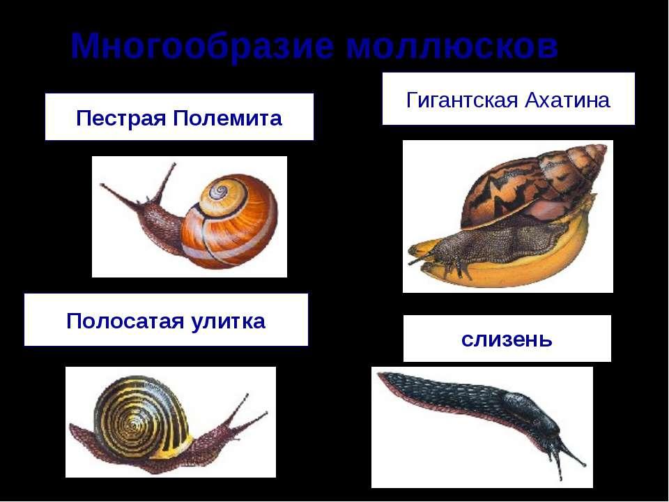 Многообразие моллюсков Полосатая улитка Гигантская Ахатина Пестрая Полемита с...