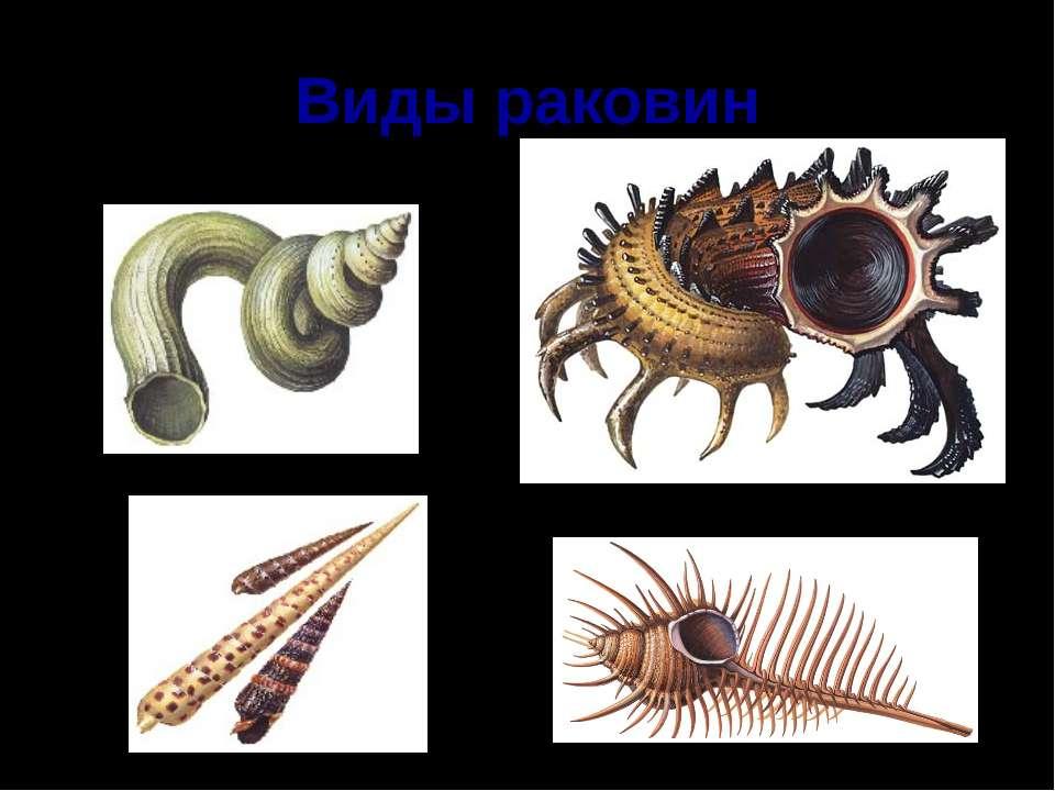 Виды раковин