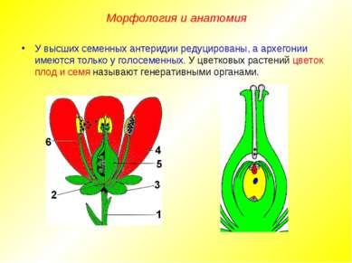У высших семенных антеридии редуцированы, а архегонии имеются только у голосе...