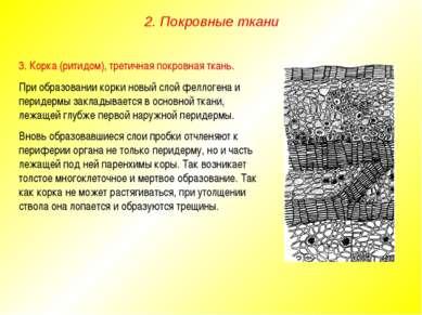 3. Корка (ритидом), третичная покровная ткань. При образовании корки новый сл...