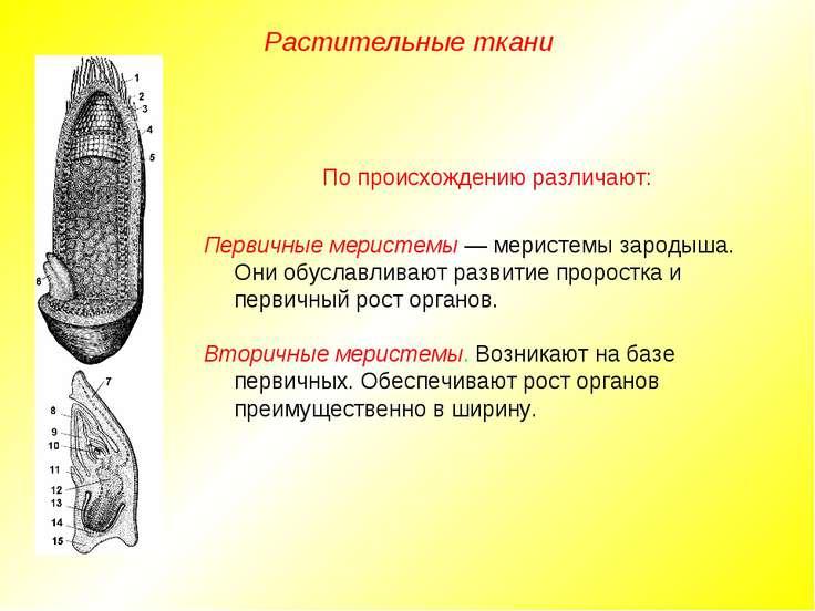 Растительные ткани По происхождению различают: Первичные меристемы — меристем...