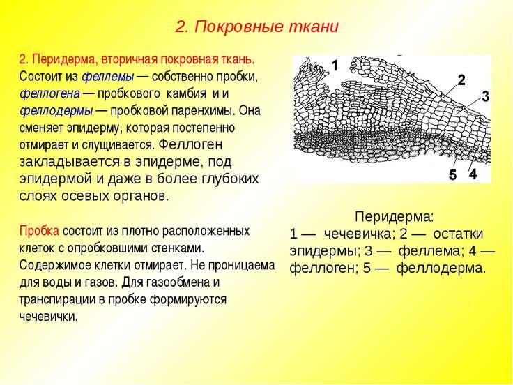 2. Перидерма, вторичная покровная ткань. Состоит из феллемы — собственно проб...