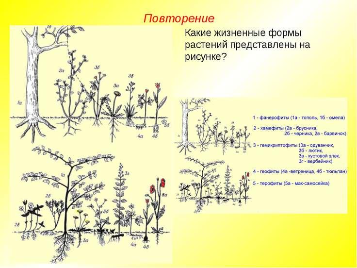 Повторение Какие жизненные формы растений представлены на рисунке?