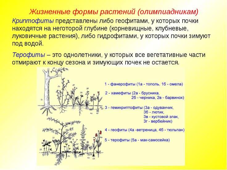 Жизненные формы растений (олимпиадникам) Криптофиты представлены либо геофита...