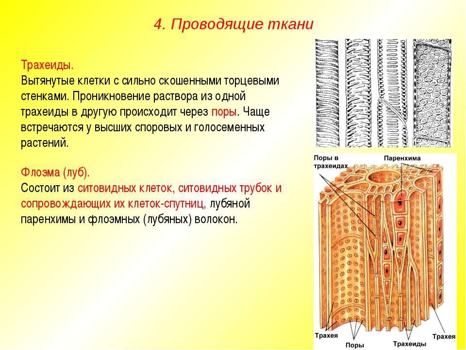 Трахеиды. Вытянутые клетки с сильно скошенными торцевыми стенками. Проникнове...