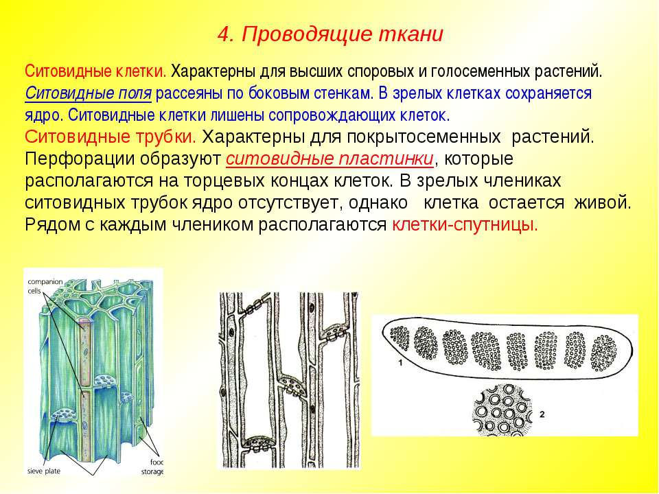 Ситовидные клетки. Характерны для высших споровых и голосеменных растений. Си...