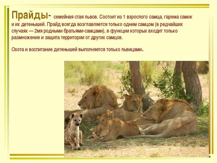 Прайды- семейная стая львов. Состоит из 1 взрослого самца, гарема самок и их ...