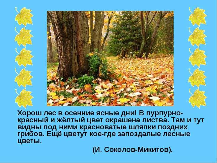 Хорош лес в осенние ясные дни! В пурпурно-красный и жёлтый цвет окрашена лист...