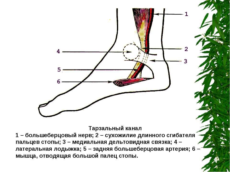 Тарзальный канал 1 – большеберцовый нерв; 2 – сухожилие длинного сгибателя па...