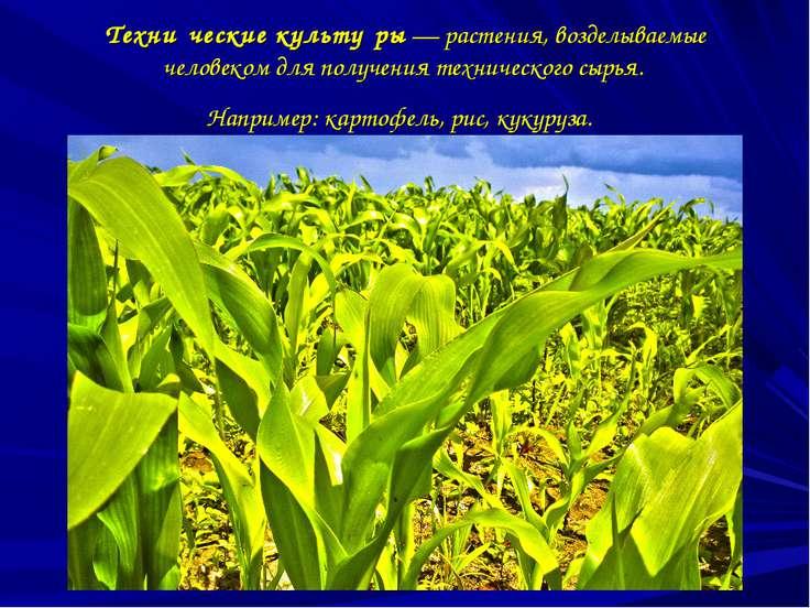 Техни ческие культу ры—растения, возделываемые человеком для получения техн...