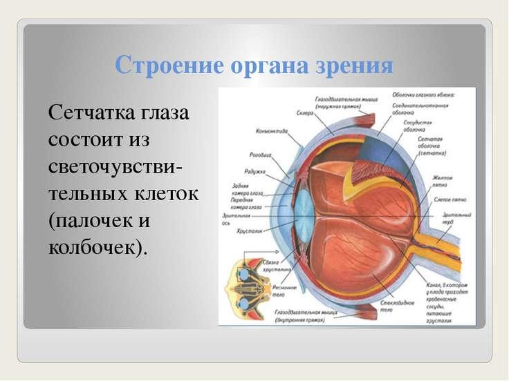 Строение органа зрения Сетчатка глаза состоит из светочувстви-тельных клеток ...
