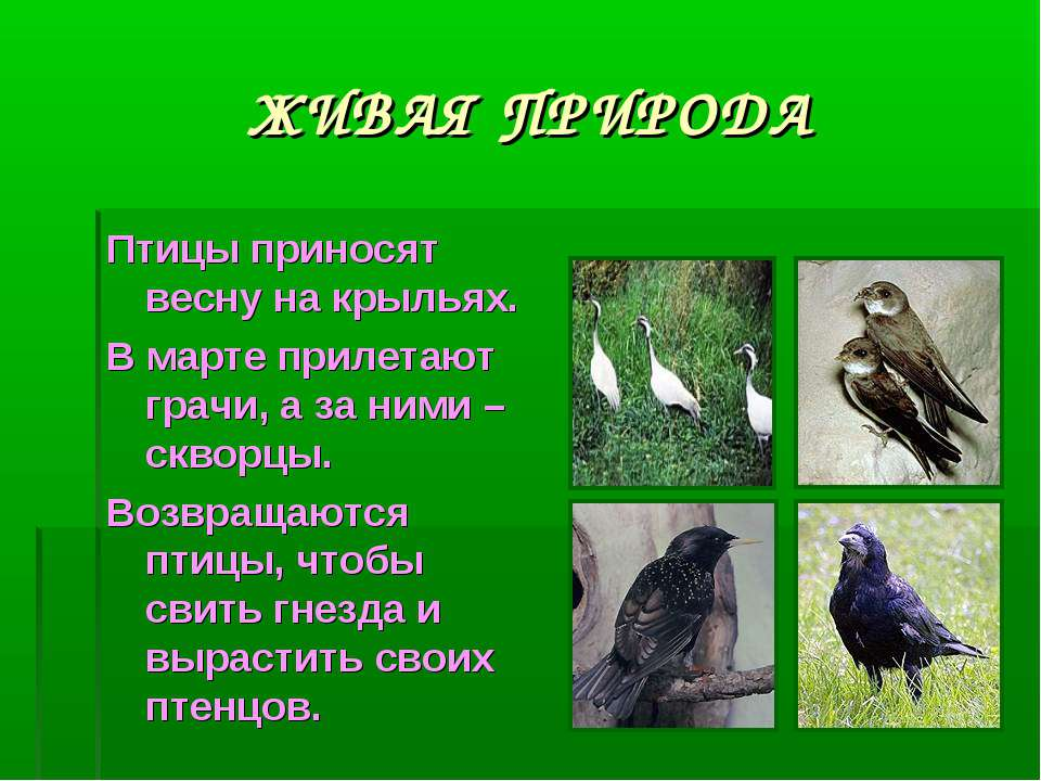 ЖИВАЯ ПРИРОДА Птицы приносят весну на крыльях. В марте прилетают грачи, а за ...