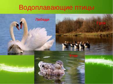 Водоплавающие птицы Лебеди Гуси Утки