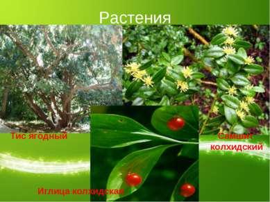 Растения Тис ягодный Самшит колхидский Иглица колхидская