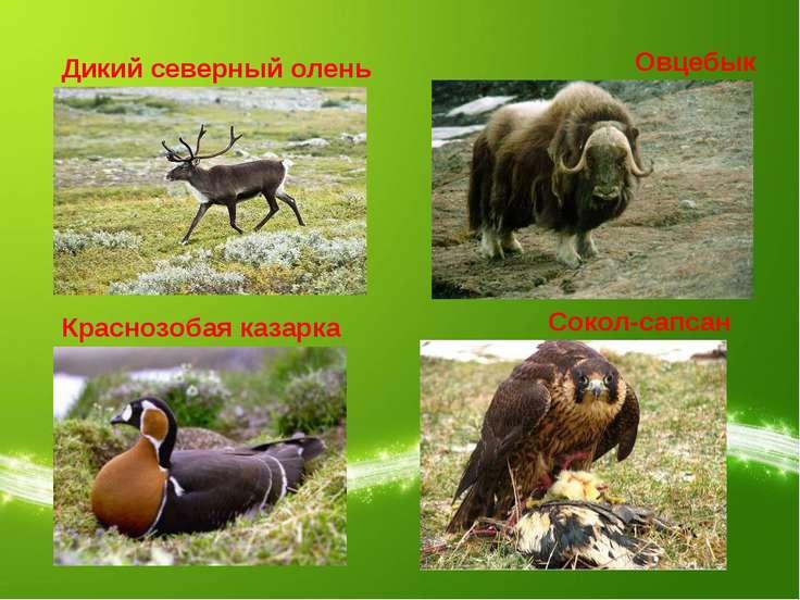 Дикий северный олень Овцебык Краснозобая казарка Сокол-сапсан