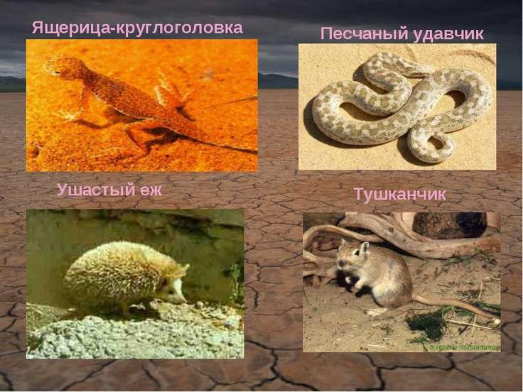 Тушканчик Ящерица-круглоголовка Песчаный удавчик Ушастый еж
