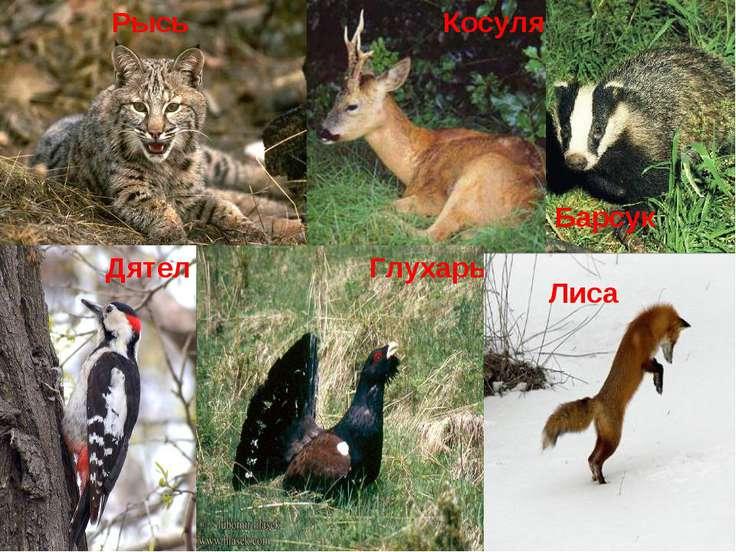 Рысь Косуля Глухарь Барсук Дятел Лиса