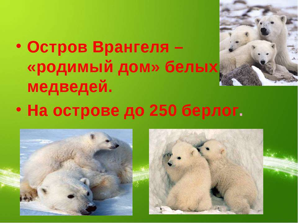 Остров Врангеля – «родимый дом» белых медведей. На острове до 250 берлог.