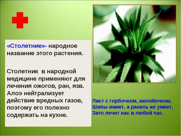 «Столетник»- народное название этого растения. Столетник в народной медицине ...