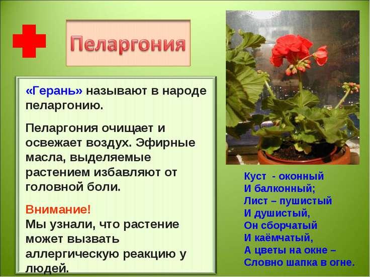 «Герань» называют в народе пеларгонию. Пеларгония очищает и освежает воздух. ...