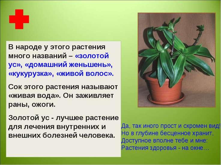 В народе у этого растения много названий – «золотой ус», «домашний женьшень»,...