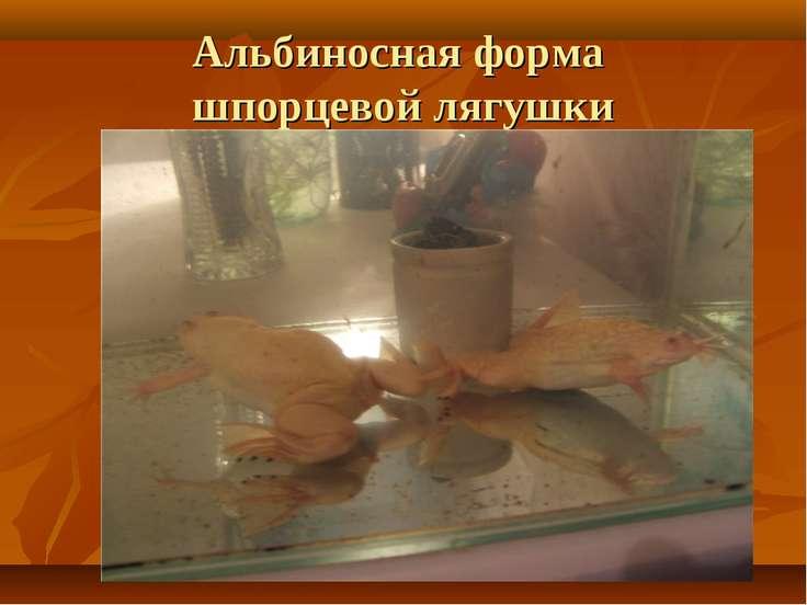 Альбиносная форма шпорцевой лягушки