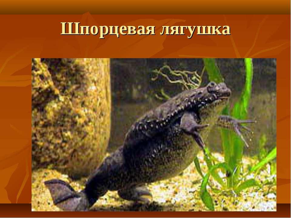 Шпорцевая лягушка