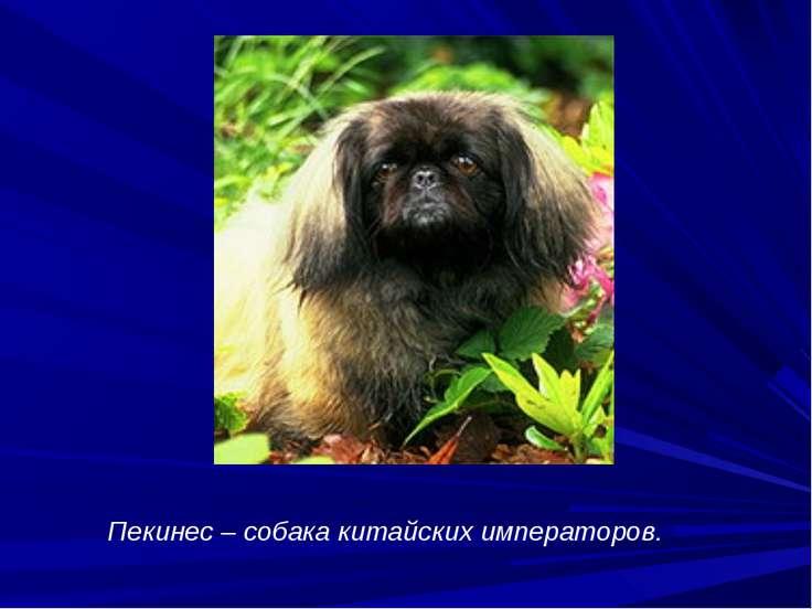 Пекинес – собака китайских императоров.