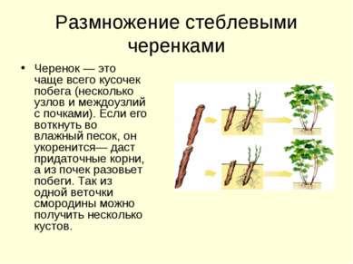 Размножение стеблевыми черенками Черенок — это чаще всего кусочек побега (нес...