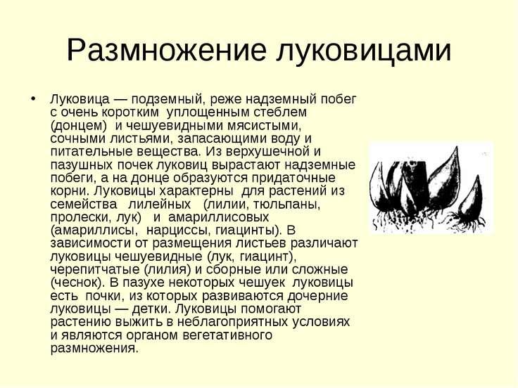 Размножение луковицами Луковица — подземный, реже надземный побег с очень кор...