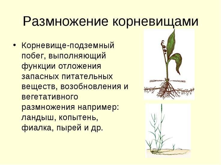 Размножение корневищами Корневище-подземный побег, выполняющий функции отложе...