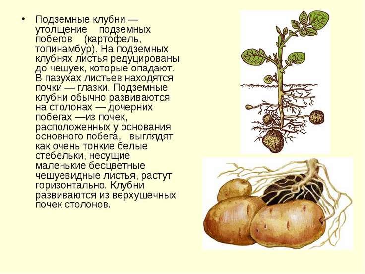 Подземные клубни — утолщение подземных побегов (картофель, топинамбур). На по...