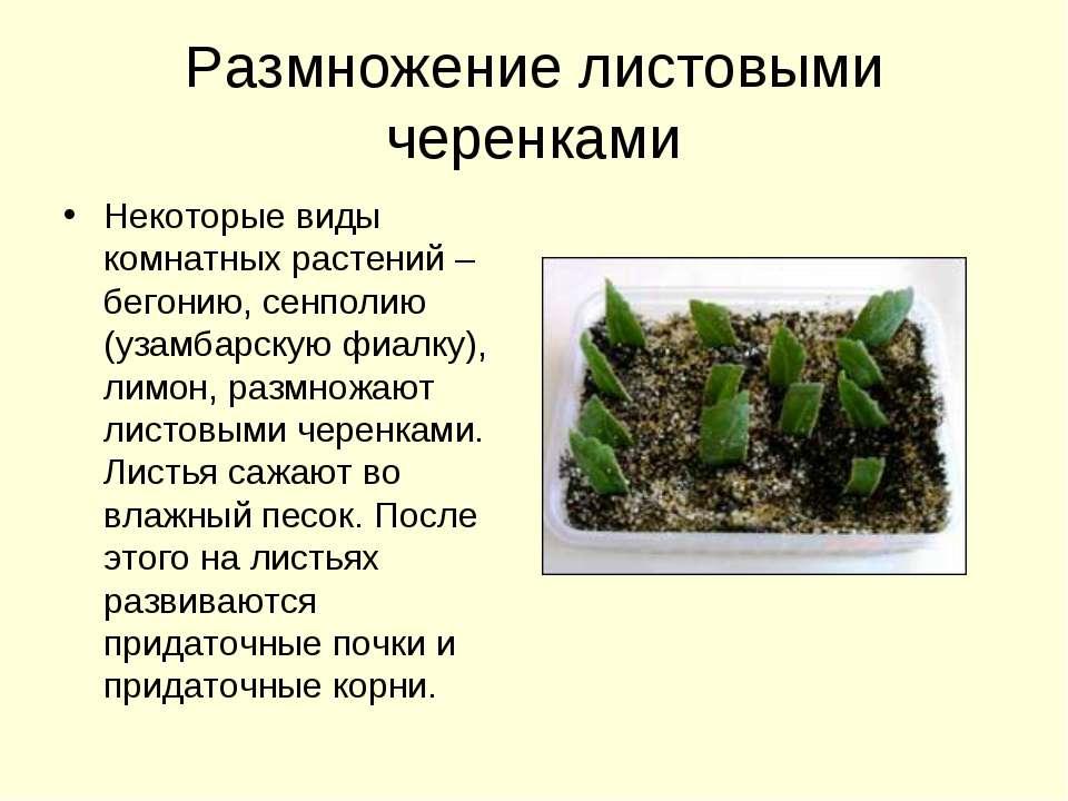 Размножение листовыми черенками Некоторые виды комнатных растений – бегонию, ...
