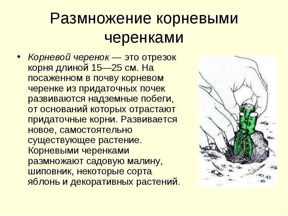 Размножение корневыми черенками Корневой черенок — это отрезок корня длиной 1...